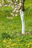 De kersenboom van de bloesem Royalty-vrije Stock Foto's