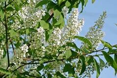 De kersenboom van de de lente bloeiende vogel Royalty-vrije Stock Foto