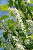 De kersenboom van de de lente bloeiende vogel Royalty-vrije Stock Foto's