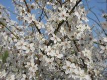 De kersenpruim komt tegen bloohemel tot bloei de lente Royalty-vrije Stock Foto's