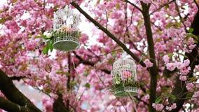 De kersenseizoen van de de lenteboom stock videobeelden