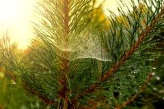 De kerstboom met regendruppels en het spinneweb kunnen worden gebruikt zoals terug Stock Fotografie