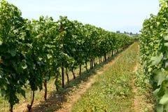 De keurige rijen van trellised wijnstokken in een wijngaard Stock Afbeeldingen