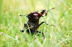 De kever van het mannetje Royalty-vrije Stock Afbeeldingen