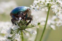 De kever van Scarabaeidae het voeden