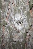De keverzitting van de pijnboom op de pijnboom. Stock Afbeelding