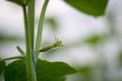 De kiem van komkommer stock afbeelding