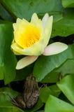 De kikker en het water bloeien lilly Stock Foto