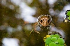 De kikker is in het moeras Stock Afbeelding