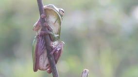 De kikker, kikkers, boomkikkers, sluit omhoog, amfibieen stock video