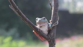 De kikker, kikkers, boomkikkers, sluit omhoog, amfibieen stock footage