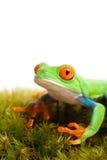 De kikker op mos isoleerde wit royalty-vrije stock foto