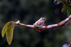 De kikker stelt bij Orchidee royalty-vrije stock afbeelding