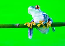 De kikker van de boom Royalty-vrije Stock Afbeelding