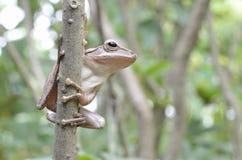 De kikker van de boom Stock Afbeelding