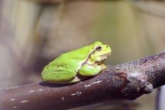 De kikker van de boom Stock Foto
