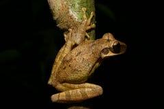 De kikker van de boom stock fotografie