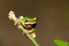 De kikker van de boom op het blad (chinensis Hyla) Royalty-vrije Stock Foto's