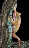 De kikker van de boom op oude tak Stock Foto's