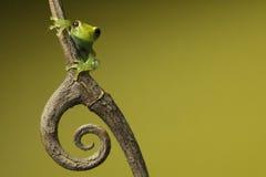 De kikker van de boom op takje op achtergrond copyspace Stock Afbeeldingen