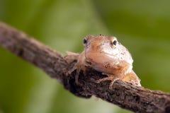 De Kikker van de close-up met groene achtergrond stock afbeeldingen