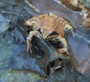 De kikker van de kleur in koel blauw water. Royalty-vrije Stock Afbeeldingen
