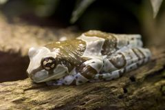 De Kikker van de Melk van Amazonië - Phrynohyas resinifictrix Royalty-vrije Stock Afbeelding