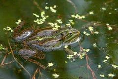 De kikker van het moeras Royalty-vrije Stock Afbeelding