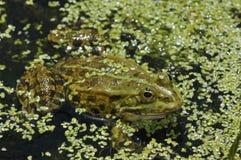 De kikker van het moeras Royalty-vrije Stock Foto