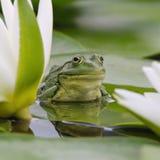 De kikker van het moeras onder witte lelies Stock Afbeelding