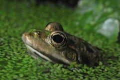 De Kikker van het moeras - ridibundus Pelophylax Stock Afbeeldingen