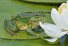 De kikker van het moeras zit op een groen blad Royalty-vrije Stock Afbeeldingen
