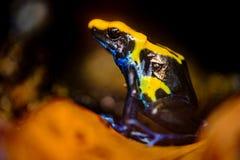De kikker van het vergiftpijltje, Dendrobates-tinctorius stock afbeelding