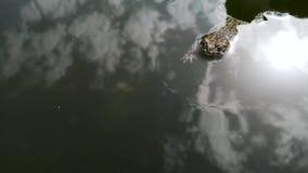 De kikker viel in de pool en kan niet weggaan Zij zwemt en wordt oud om weg te gaan, maar soms rust, verzamelt sterkte stock videobeelden