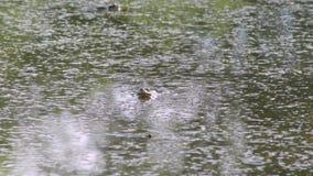 De kikker zit in het water stock video