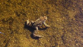 De kikker zit op zand onderwater stock footage