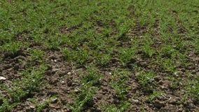 De kikkererwt cultiveerde gebied en kwam onlangs te voorschijn kikkererwteninstallatie, landklimaat op het gebied van kekers, stock video