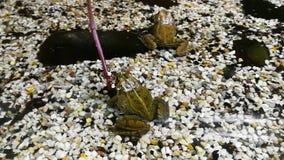 De kikkers behoren tot de orde van Anuras die door een grote diversiteit van species wordt gevormd stock footage