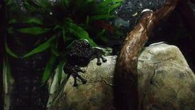 De kikkers behoren tot de orde van Anuras die door een grote diversiteit van species wordt gevormd stock videobeelden