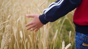 De kinderen` s hand raakt de oren van tarwe op een gebied stock footage
