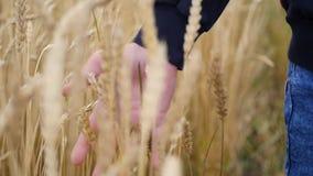 De kinderen` s hand raakt de oren van tarwe op een gebied stock video