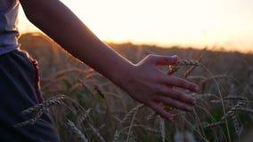 De kinderen` s hand raakt de oren van tarwe op een gebied De tijd van de zonsondergang stock videobeelden