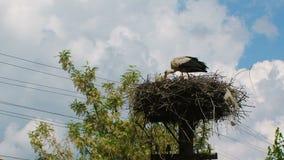 De kinderen van het ooievaarsvoer in het nest stock video