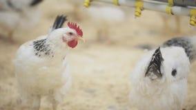 De kip bevindt zich lange tijd hangend maar na allen begint het zich te bewegen stock footage