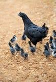 De kip en de kippen van de moeder Stock Afbeeldingen