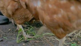 De kip gaat kijkend gember voor de voedselzomer de langzame geanimeerde video van het de landbouwgevogelte stock footage