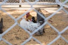 De kip gezien hen speelt en geniet van royalty-vrije stock afbeeldingen