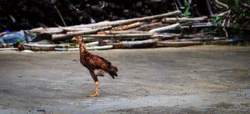 De kip heeft slechts één been Stock Afbeeldingen