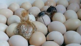 De kip in het ei beweegt het proberen om door shell te breken Pasgeboren kippen in speciale landbouwincubator stock videobeelden