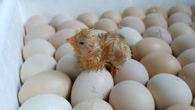 De kip in het ei beweegt het proberen om door shell te breken Pasgeboren kippen in speciale landbouwincubator stock video